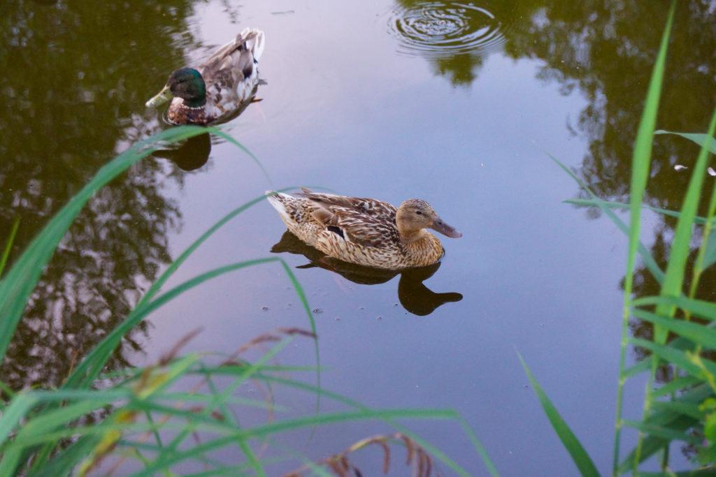 Märwiler Riet (Märwil, Thurgau): Enten im Naturschutzgebiet
