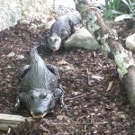 Stumpfkrokodile gehören zu den kleinsten Krokodilarten