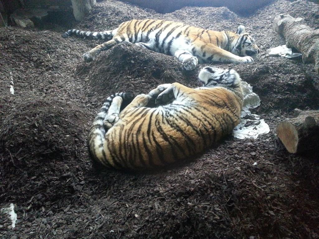 Die Amur Tiger liegen faul in der Tigerhöhle rum.