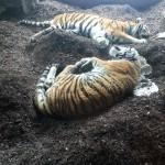 Die Amur Tiger liegen faul in der Tigerhöhle rum. In freier Wildbahn bedroht.