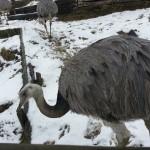 Der Emu, ein Vogel, der zwar nicht fliegen, aber gut schwimmen kann