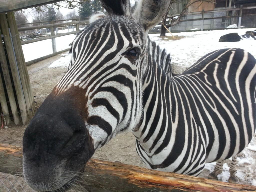 Grantzebra, Walter Zoo, Gossau