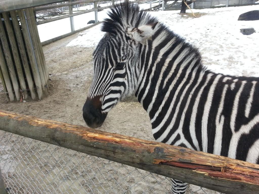 Grantzebra im Walter Zoo, Gossau (SG)