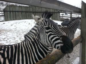 Grant-Zebra, Walter Zoo, Gossau SG