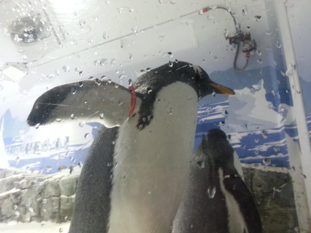 Pinguine leben ausschliesslich auf der Südhalbkugel der Erde.