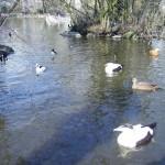 Enten und Wasservögel im Weiher