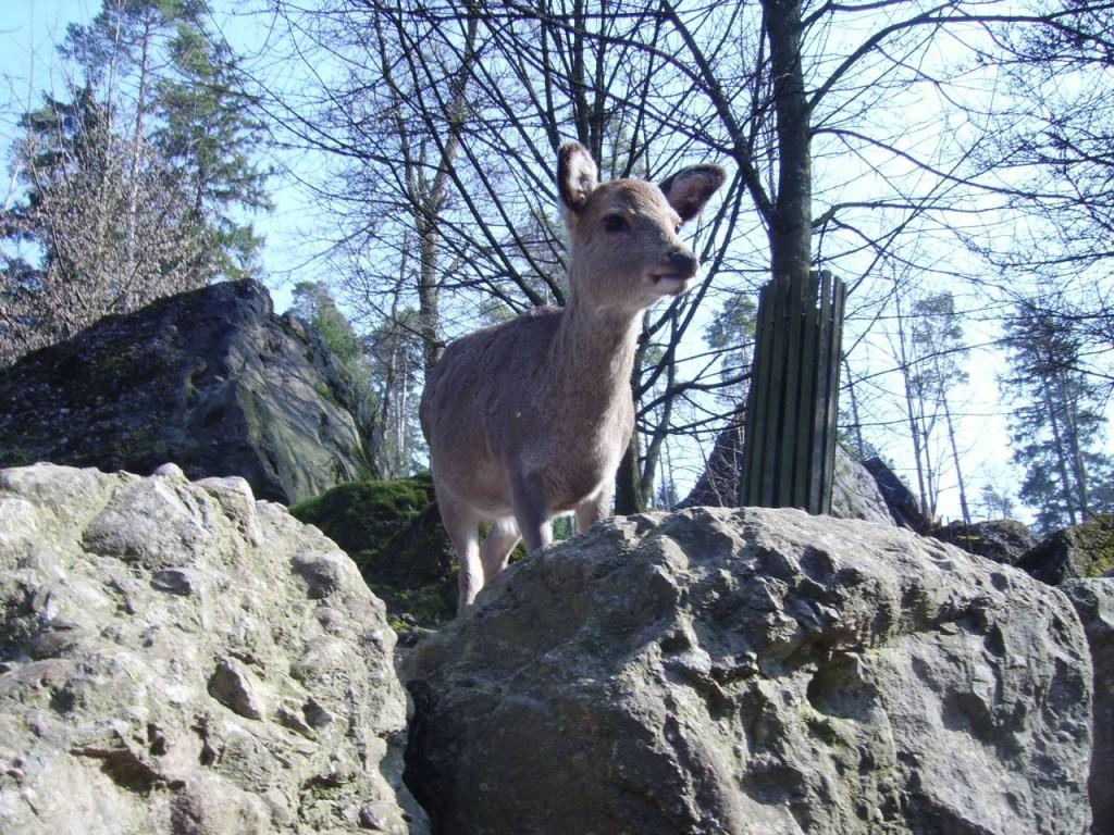 Hirsche und Rehe im Freilaufbereich