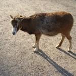 Wildschafe: ein Mufflon Weibchen