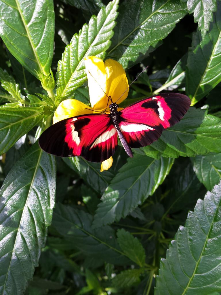 Schmetterling im Schmetterlingshaus, Blumeninsel Mainau, Konstanz am Bodensee